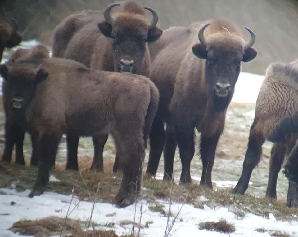 European-Bison